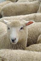 fårflock, Nya Zeeland foto