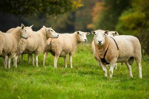 ram som bär en roddel bredvid en fårflock. foto