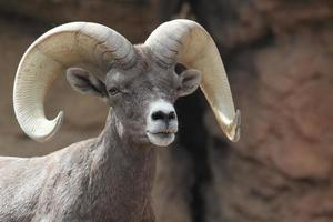 bighorns får (ovis canadensis) foto
