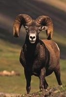 full curl bighorn ram foto