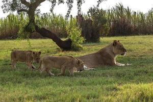 lejon, Sydafrika. 31 mars 2015 foto