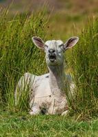 nyskjuvade får i sommar betesmark foto
