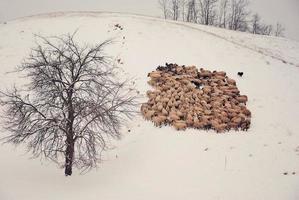 fårskock foto