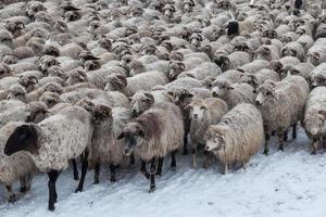 får får på vintern foto