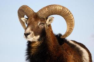 mouflon trofé foto