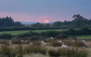 får vid solnedgången i walisiska landskapet foto