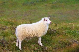 de isländska fåren foto