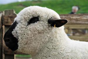 porträtt av en hampshire ner får, med dess ylla undersökning foto