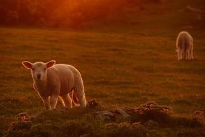 walisiska lamm i kvällssolljuset