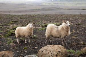 2 cheeps på Island foto