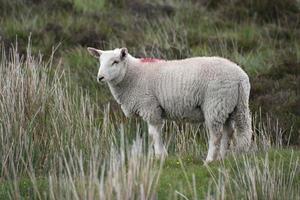 lamm vid sallygapet i Wicklow, Irland foto