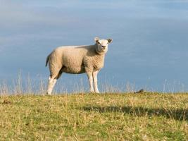 porträtt av får på vallen foto