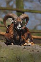 europeisk mouflon foto