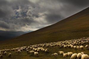 flock får på en bakgrund av dramatiska landskap foto