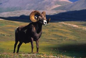 bighorn-ram i alpinen foto
