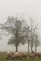 lantligt landskap med flock får och dimma foto