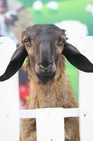 många lamm på gården. foto