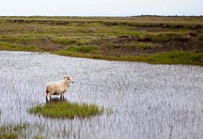 isländska får i ängen foto