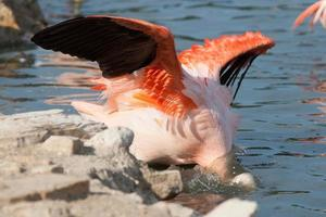 Phoenicopterus foto