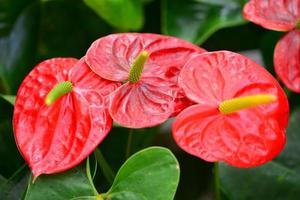anthurium andraeanum eller flamingo lily foto