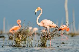 den rosa karibiska flamingo går på vatten.