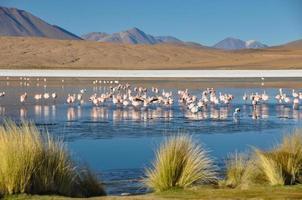 flamencos i sur lipez, bolivia