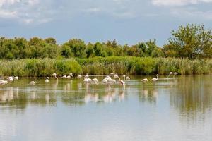 vilda flamingo fåglar i sjön i Frankrike, camargue, provence foto