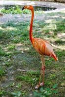 flamingo vackert porträtt skapat i det naturliga vilda foto