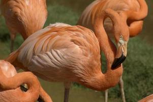 flamingo i folkmassan foto