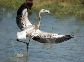 phoenicopterus ruber, unga flamingo, i naturlig miljö foto