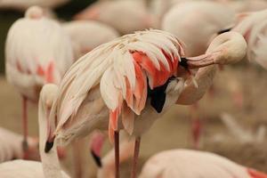 preening flamingo foto