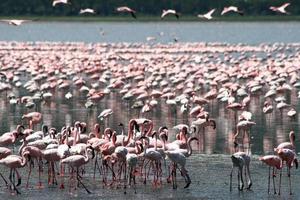 flamingos i Afrika foto