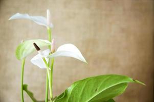 vit anthurium med naturlig brun bakgrund foto