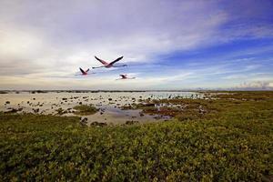 tre flamingo som flyger över ett myrigt damm foto