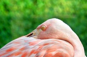 rosa öga foto