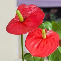 närbild av flamingo blomman foto