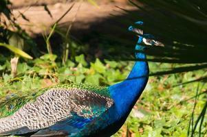 påfågel från park sama, runt staden cambrils, Spanien foto