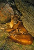 kvinnlig berglejon och kattungar i den foto