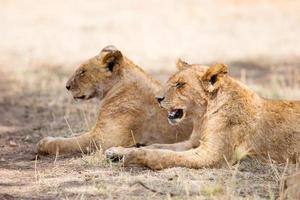 två lejon vilar i skuggan foto