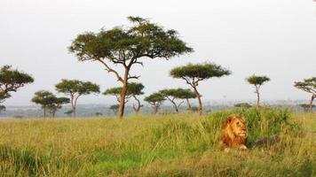 lejon - savanne, masai mara foto