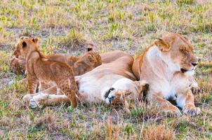 lejon i Kenya foto
