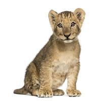lejon unge sitter gammalt, tittar på kameran, 10 veckor foto