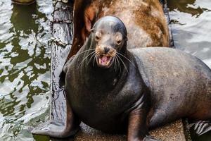 Stilla nordvästra sjölejon och sälar foto