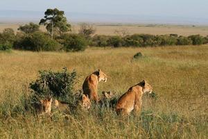 grupp vilda lejon foto