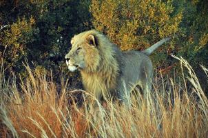 Lejonkungen foto