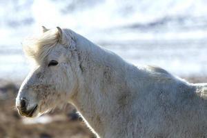 porträtt av en vit isländsk häst i vinterlandskap