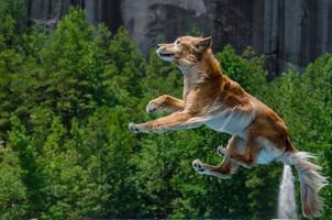 Golden retriever hoppar genom luften