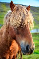 isländska ponny foto