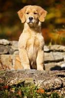 hund: golden retriever valp foto
