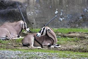 östafrikanska antilop foto